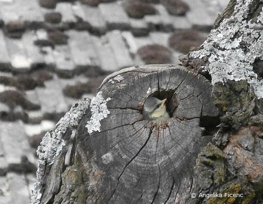 Blaumeise, Cyanistes caeruleus, Singvogel,  tierspuren.at    © Mag. Angelika Ficenc