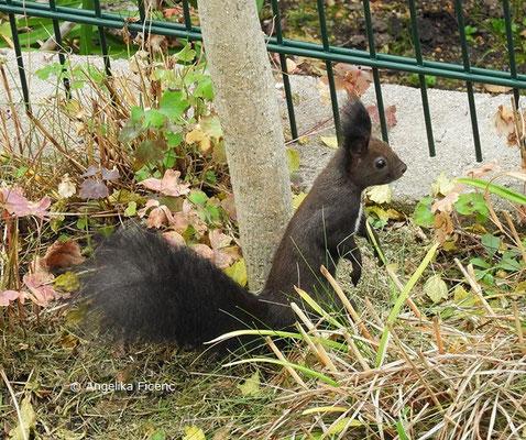 Europäisches Eichhörnchen © Mag. Angelika Ficenc