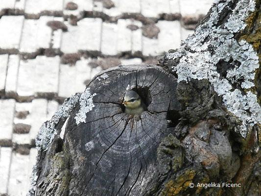 Blaumeise, Cyanistes caeruleus, , tierspuren.at    © Mag. Angelika Ficenc