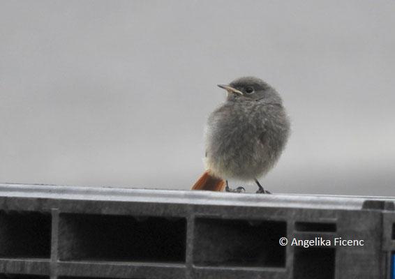 Hausrotschwanz (Phoenicurus ochruros), Jungvogel,   © Mag. Angelika Ficenc