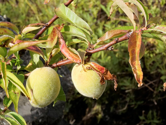 Pfirsiche  - Cuesta Verde