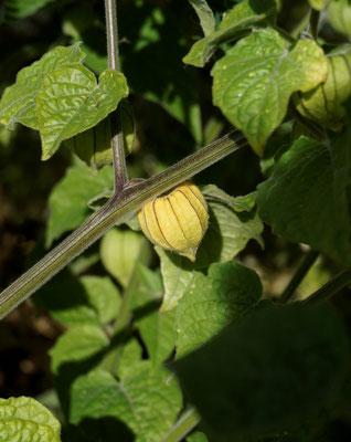 Physalis peruviana / Kapstachelbeere - Cuesta Verde