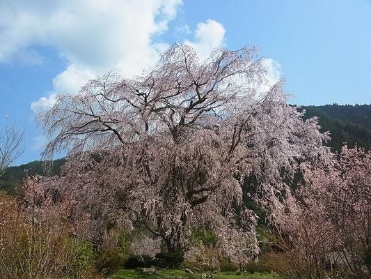 ③3月末から4月の初旬はYMCAでも桜が満開となります。中でも 湯の山温泉のしだれ桜は有名です。これも春のお散歩コースとして最適です。