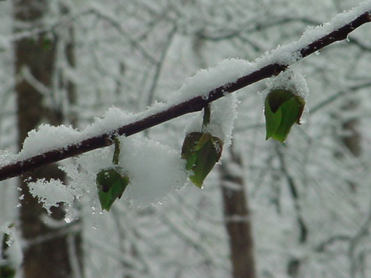 Snow on pawpaw blossoms