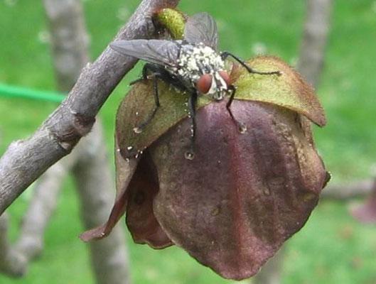 Paupaublüte mit Fliege(Bestäuber) von Danilo Volcina
