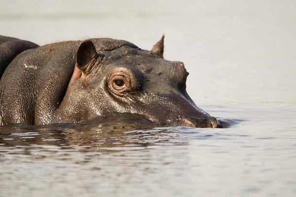 #2 Hippo