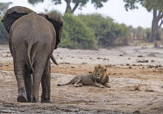 #2 Elefanten Löwen