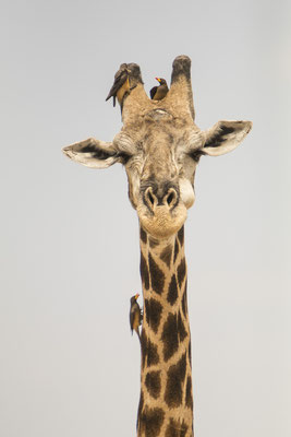 #3 Giraffe