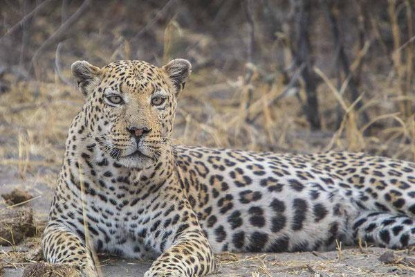 #7 Leopard