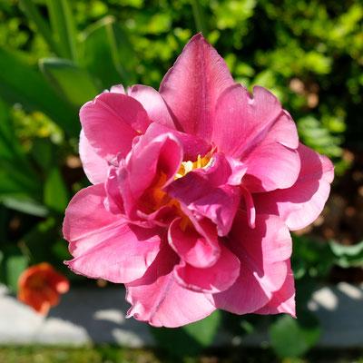 Frühlingsblumen22042018_0002