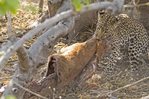#4 Leopard