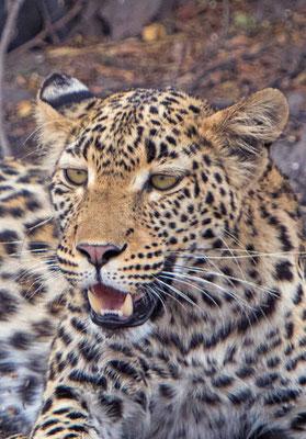 #1 Leopard
