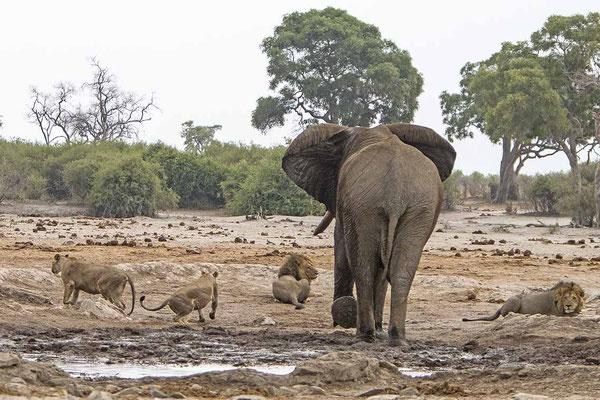 #1 Elefanten Löwen