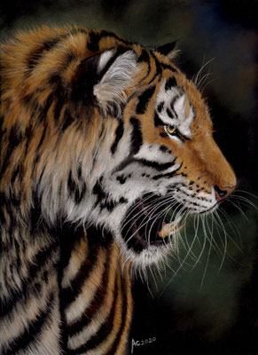 Tiger, 30x24 cm, Softpastell auf Pastelmat, Ref. Photo: Paul Hinks
