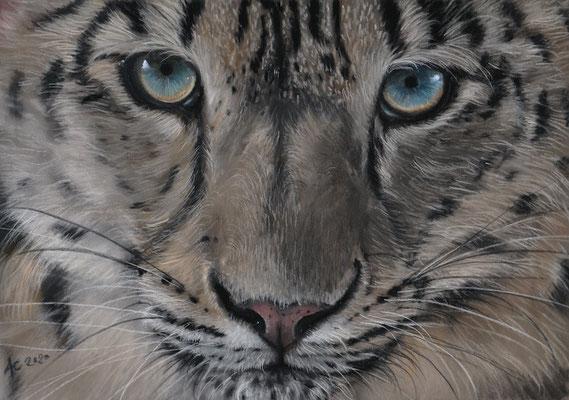 Snow Leopard, 24x30cm, Softpastell auf Pastelmat, Ref. Photo: Peter Bolliger