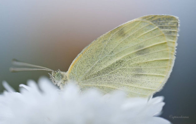 Papillon du soir.... merci de terminer le dicton