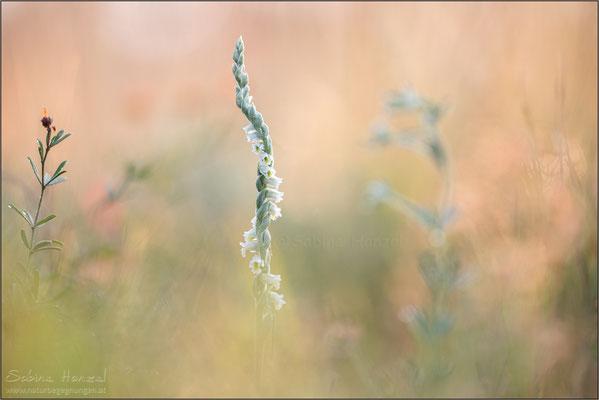 Herbst-Drehwurz (spiranthes spiralis)