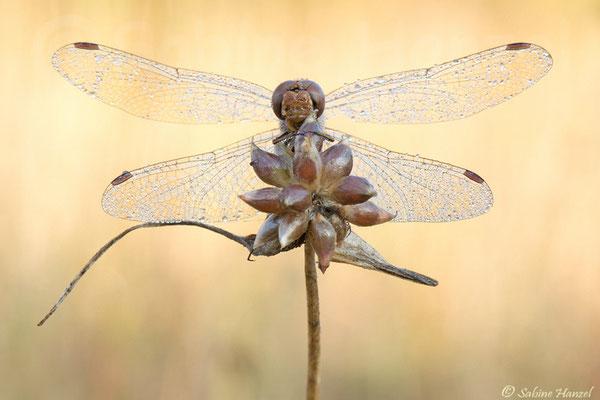 Große Heidelibelle (sympetrum striolatum)