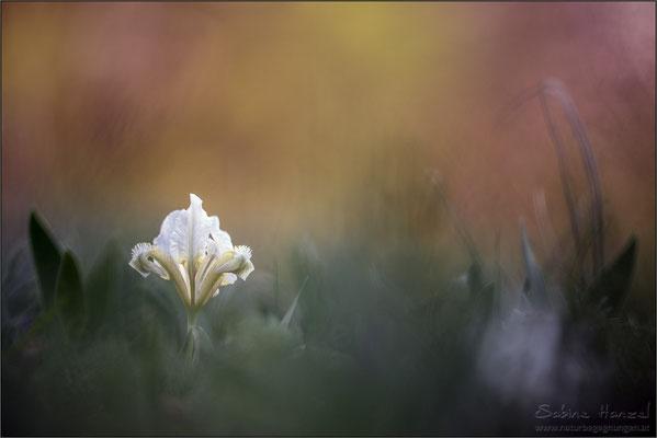 Zwergiris (iris pumila)