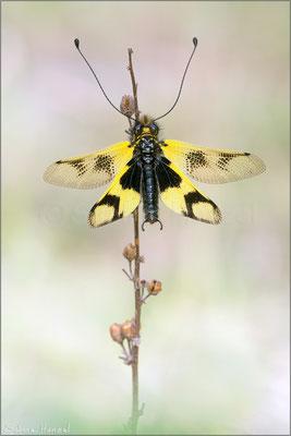 Östliche Schmetterlingshaft (libelloides macaronius)