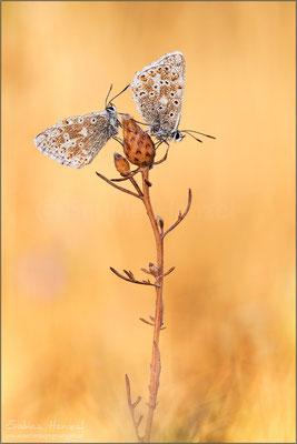 Silbergrüner Bläuling ♂+♂ (polyommatus coridon)