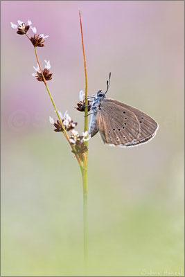 Heller Wiesenknopf-Ameisen-Bläuling (phengaris teleius)