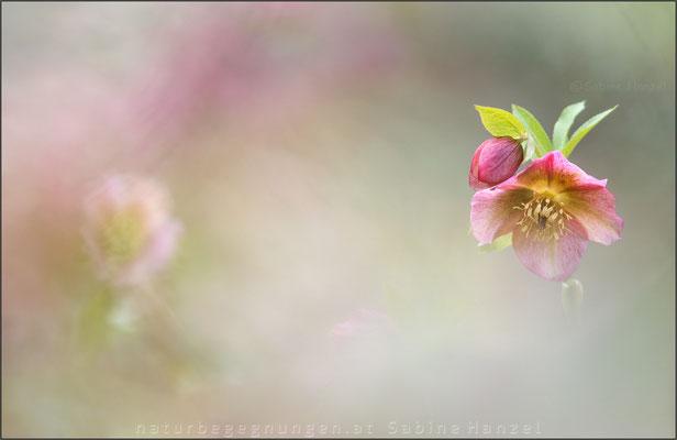 Schneerose (helleborus niger)