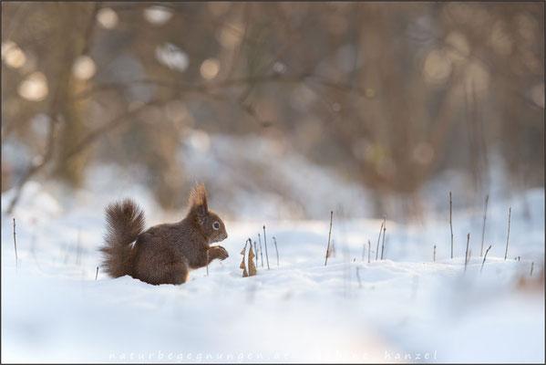 Eichhörnchen (sciurus vulgaris)