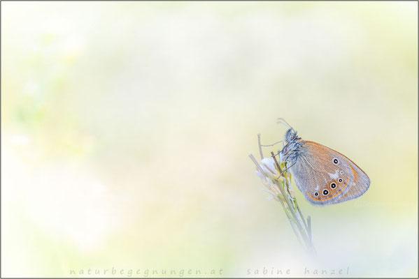 Rotbraunes Wiesenvögelchen (coenonympha glycerion)