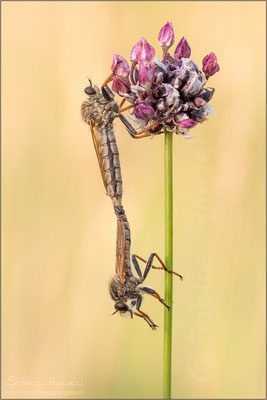 Berserkerfliegen ♀ + ♂ (echthistus rufinervis)