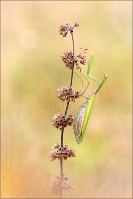 Europäische Gottesanbeterin ♀ (mantis religiosa)