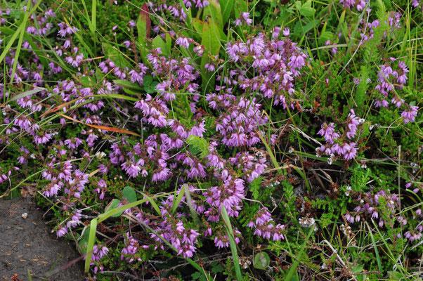 Calluna vulgaris (Besen-Heide)