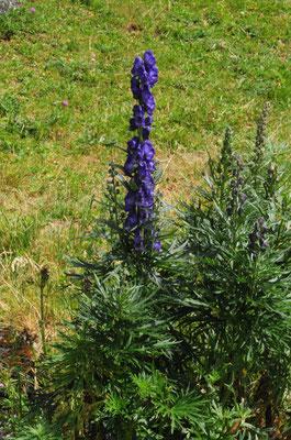 Dichtblütiger Blau-Eisenhut ( Aconitum compactum)