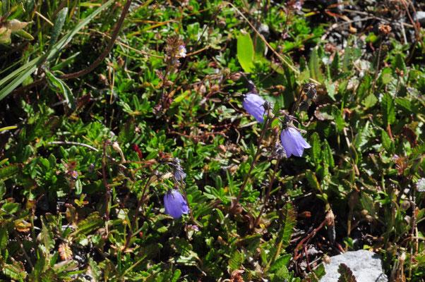 Campanula cochleriifolia (Niedliche Glockenblume)