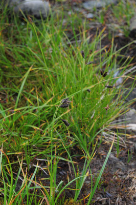 Carex frigida (Eis-Segge)