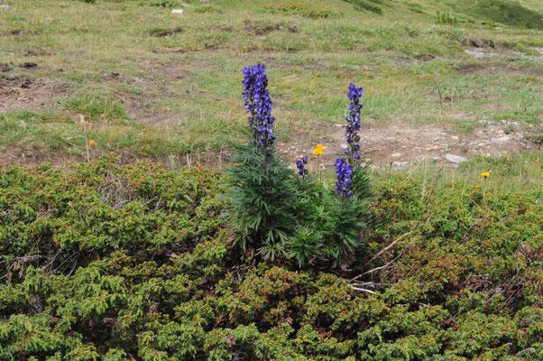 Aconitum napellus (Blauer Eisenhut)