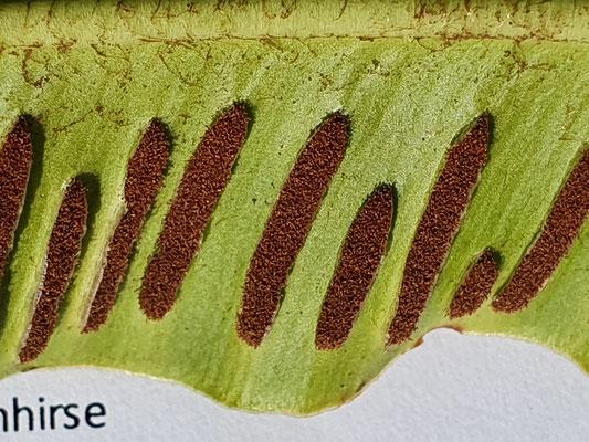 Phylitis scolopendrium (Hirschzunge)