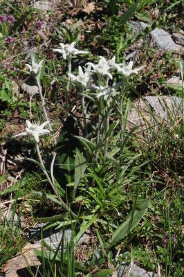 Leotopodium alpinum ( Edelweiss)