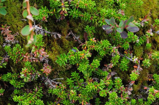 Empetrum nigrum subsp. hermaphroditum (Zwittrige Krähenbeere)
