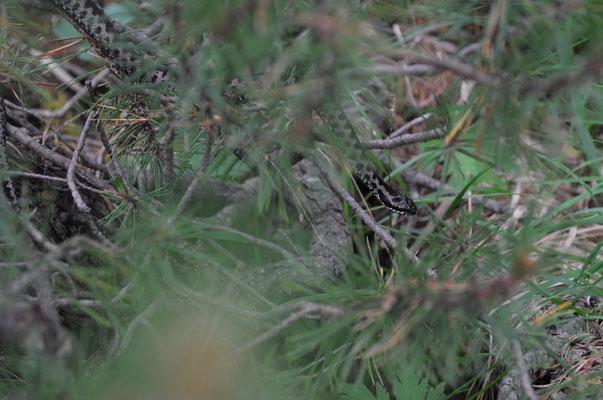 Kreuzotter ( Vipera berus)