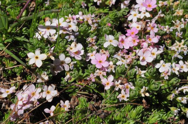 Androsace alpina ( Alpen-Mannsschild)