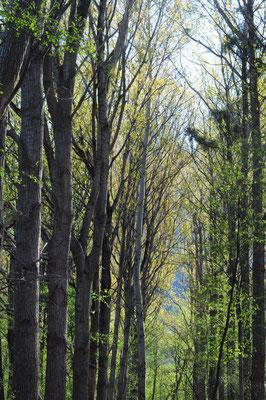 Populus x canadensis (Kanadische Pappel)