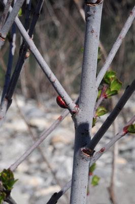 Salix daphnoides (Reif-Weide)