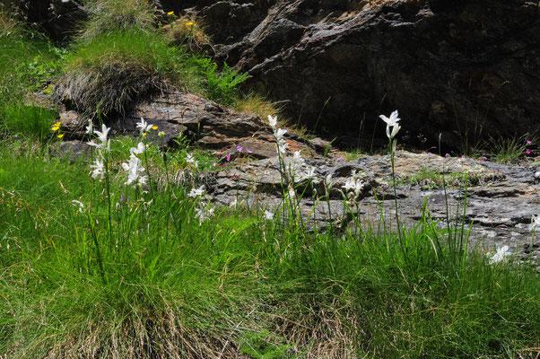 Paradisea liliastrum ( Weisse Trichterlilie)
