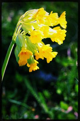 Primula veris (Gewöhnliche Frühlings-Schlüsselblume)