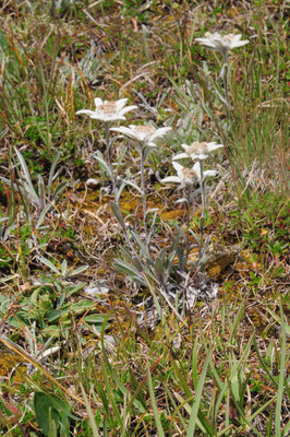 Leontopodium alpina (Edelweiss)