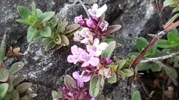 Thymus sephyllum aggr. (Feld-Thymian)
