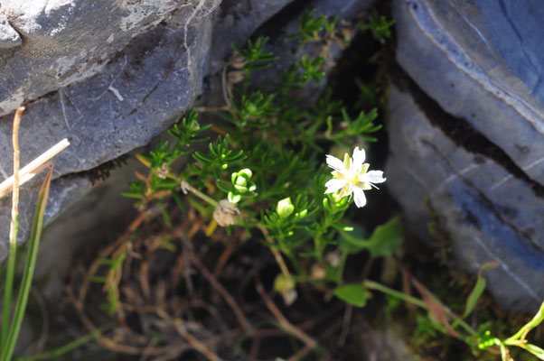 Moehringia ciliata (Bewimperte Nabelmiere)