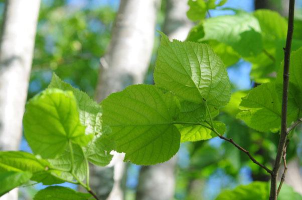 Tilia platyphyllos ( Sommer-Linde)