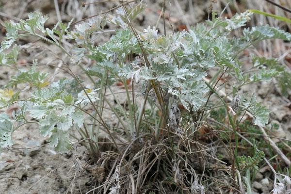Artemisia absinthium (Echter Wermut)